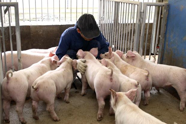 同じ母豚から生まれたきょうだいだけの部屋でのびのび育つ豚たち
